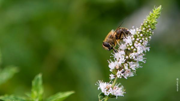Biene an einer Nanaminzblüte
